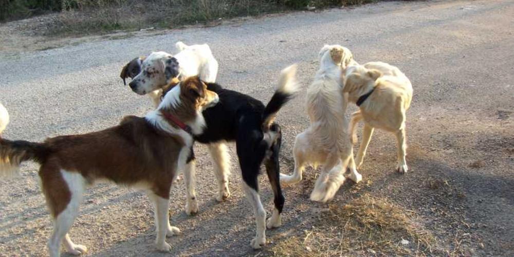 Σαντορίνη: Ξεκίνησε το πρόγραμμα στείρωσης για αδέσποτα σκυλιά