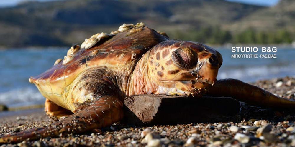 Νεκρή θαλάσσια χελώνα ξεβράστηκε σε παραλία στο Ναύπλιο [βίντεο]
