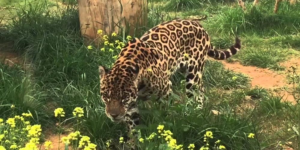 Σοκ στο Αττικό Ζωολογικό Πάρκο: Σκότωσαν δύο τζάγκουαρ, που δραπέτευσαν την ώρα που βρίσκονταν μέσα επισκέπτες!